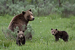 Grizz_399_and_3_of_her_4_cubs_06082020.jpg