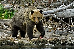 Grizzly_and_fish.jpg