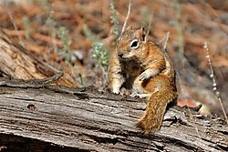 Ground_squirrel2.JPG