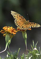 Gulf_Fritillary_Butterfly_5463.jpg