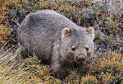 HBPC_45_B_Set_Walk_with_a_wombat.jpg