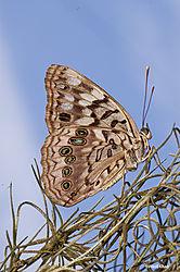 Hackberry_Butterfly1_8-4-13.jpg
