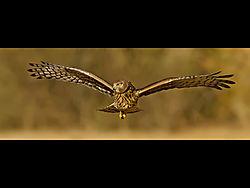 HarrierLooking.jpg