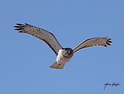 Harrier_female_hunting_Barr_Lake_1222021.jpg
