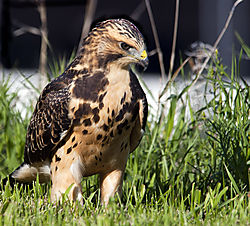 Hawk19.jpg