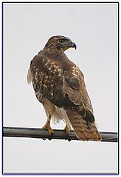 Hawk_2.jpg