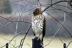 Hawk_Head_close_up.jpg
