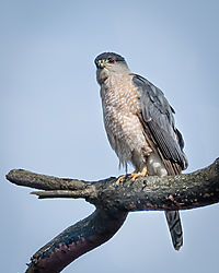 Hawk_in_a_Tree-5.jpg