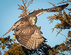 Hawk_of_the_Year.jpg