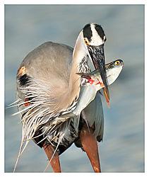Heron-Shad1.jpg