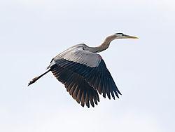 Heron_Flight.jpg