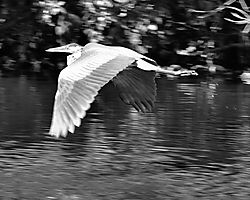 Heron_Take-off.jpg