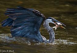 Heron_along_the_James_River-10.jpg