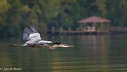 Heron_along_the_James_River-6.jpg