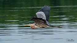 Heron_gliding_s1.jpg