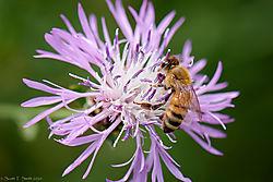 Honey_Bee_01.jpg