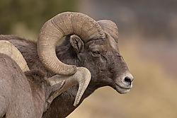 Horns_touching_Big_Horn_sheep_11062020.jpg