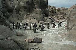 Humboldt_Penguin_4_Done.JPG