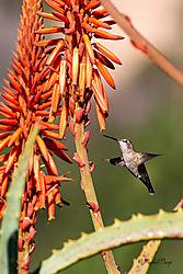Hummer-Aloe-2120.jpg