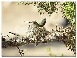 Hummer_Nesting_II.jpg