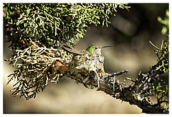 Hummer_nesting.jpg