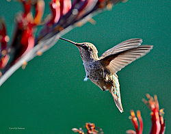 Humming-Bird-in-Aptos-1-PPW.jpg