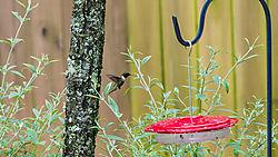 Humming_bird_Landing.JPG