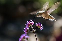 Hummingbird12.jpg