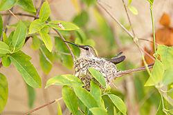 Hummingbird520RR.jpg