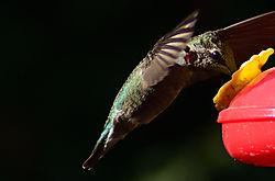 Hummingbird_28.jpg
