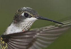 Hummingbird_Closeup.jpg