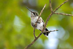 Hummingbird_Perched.jpg