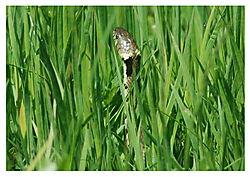 Hunting_grass_snake.jpg