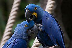 Hyacinth_Macaw.jpg
