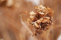 Hydrangea_in_Winter.jpg