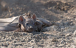Hyena_pup_waiting_to_suckle_1_of_1_.jpg