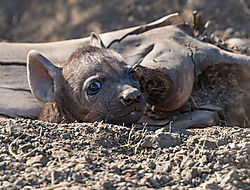 Hyena_pup_waiting_to_suckle_2_1_of_1_.jpg