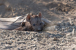 Hyena_pup_waiting_to_suckle_3_1_of_1_.jpg