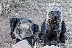Hyena_pups_1_of_1_-2.jpg