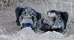 Hyena_pups_1_of_1_-3.jpg