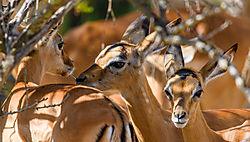 Impala_lambs_1_of_1_.jpg