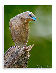 Indio-Bunting-Female.jpg