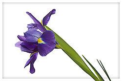 Iris---Slant.jpg