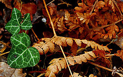 Ivy-leaves.jpg