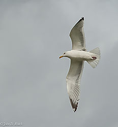 John_D_Roach--Lake_Gull_1.jpg