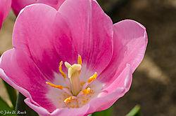 John_D_Roach--Tulip.jpg