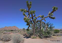 Joshua-Tree-Desert-Scene_1-PPW.jpg