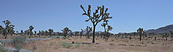 Joshua-Trees--PPW.jpg