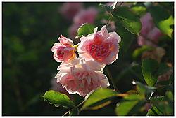 June_Roses.JPG