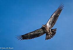 Juvenile_Eagle-1.jpg